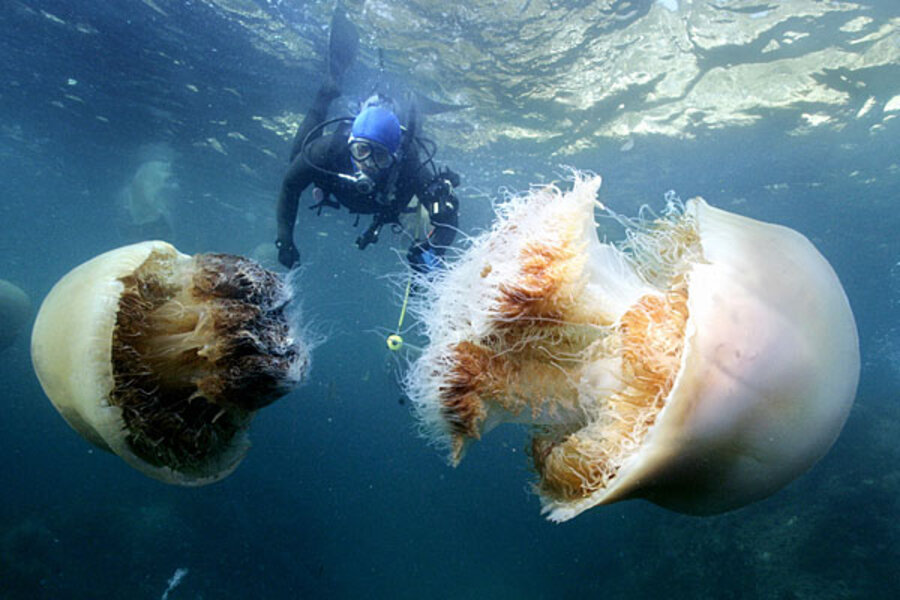 Giant jellyfish - The Christian Science Monitor ...