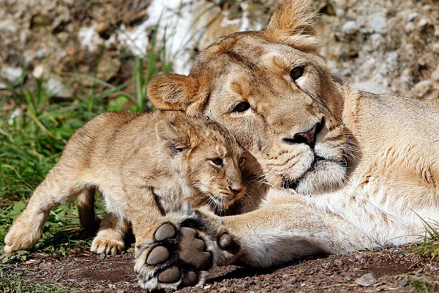 baby lions csmonitor com