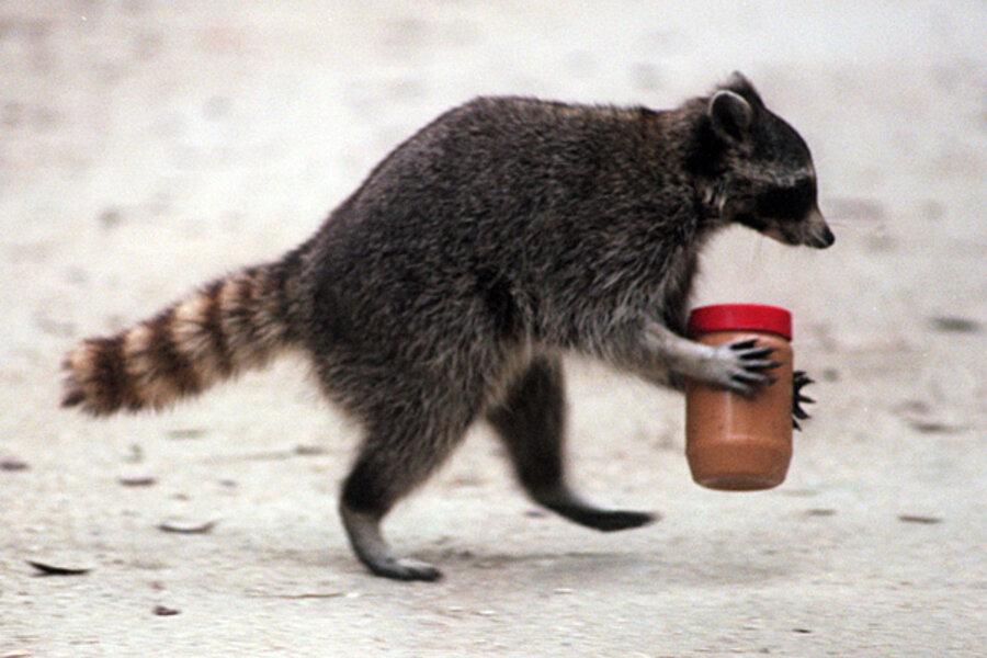 Rascally Raccoons Csmonitorcom