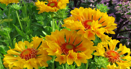 Great garden flowers: A gaillardia with plenty of moxie