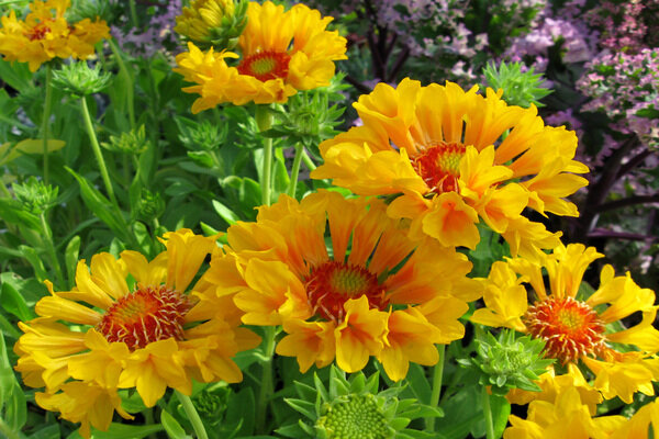 Great garden flowers a gaillardia with plenty of moxie csmonitor this perky little perennial known as gaillardia moxie commotion loves the sun and blooms a long time mightylinksfo