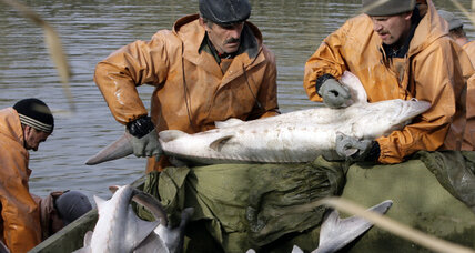 'Living fossil' in Yellowstone River needs help: Will $57M dam save sturgeon?