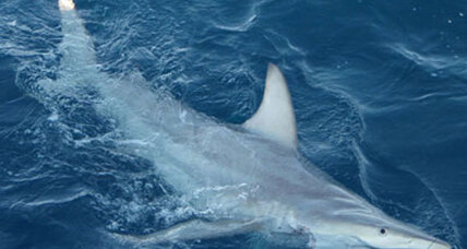 New hybrid sharks discovered: Signs of global warming?