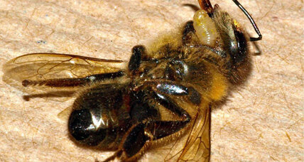 Zombie bees: Fly parasite causes zombie-like stupor