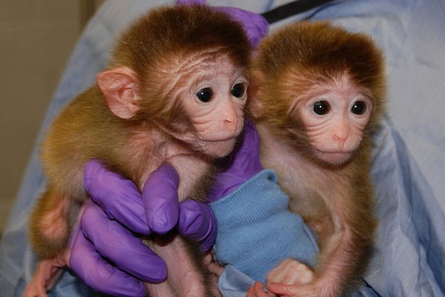 Chimeric macaques give new meaning to phrase, 'I'll be a ...