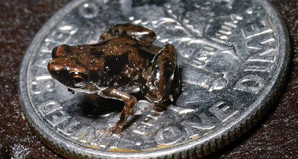 Newly discovered frog is smallest known vertebrate