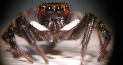 Jumping Spiders see clearly by blurring their vision