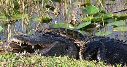 Huge pythons annihilating Everglades wildlife, report scientists