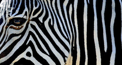 Zebras may have stripes because horseflies hate them