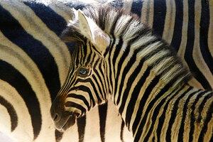 Scientists unravel mystery of zebra stripes - CSMonitor.com