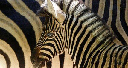 Scientists unravel mystery of zebra stripes