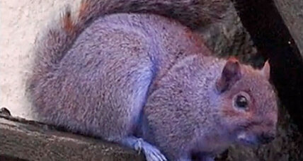 Purple squirrel spotted in Pennsylvania. Did it fall into a portable toilet?