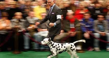 Westminster dog show 2012: Could a Dalmatian win it all? A Dachshund?