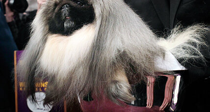 2012 Westminster dog show: some viewers barking over 'Best in Show' choice