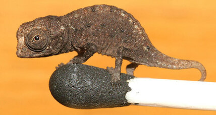 World's tiniest chameleon: How did it get so small?