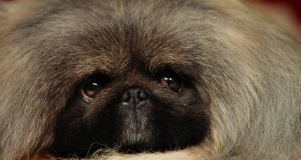 Pekingese wins at 2012 Westminster dog show