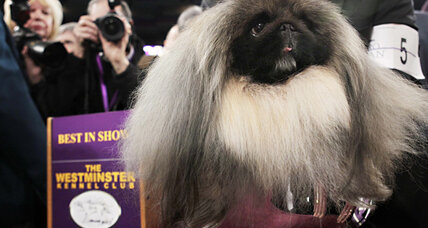 Best in Show: Costly Westminster win for Malachy the Pekingese