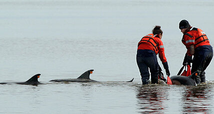 Why are so many dolphins beaching themselves on Cape Cod?
