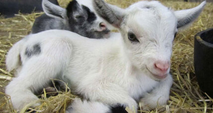 Goats apparently have accents, report goat experts