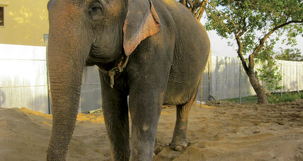 After retirement, elephant in Cambodia tries to forget