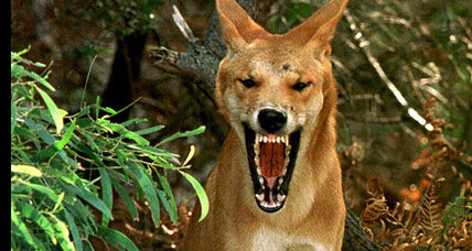 Australian mystery reexamined: Did a dingo kill the Chamberlain baby?