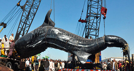 Huge whale shark sold for $2,200 in Pakistan