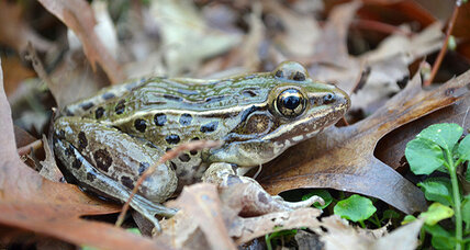 New frog species calls New York City home