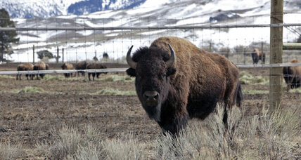 Bison reach Montana as part of relocation plan