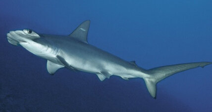 Hammerhead shark twin discovery creates concern for species