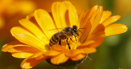 Is corn syrup killing the honeybees?