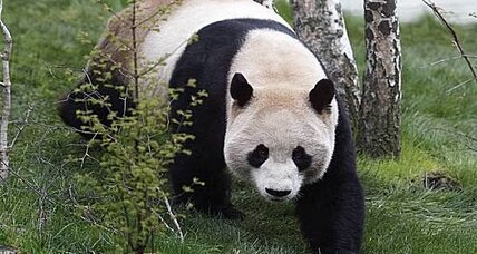 Why it's so difficult to get pandas to mate