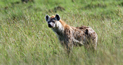 How do hyenas observe Lent? By eating more donkey. (+video)
