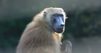 If you're reading this, you might be a baboon