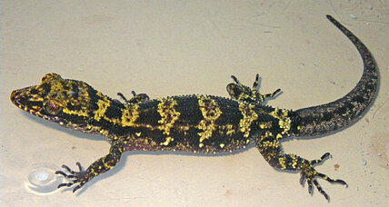 Bumblebee gecko species a 'striking surprise,' say scientists