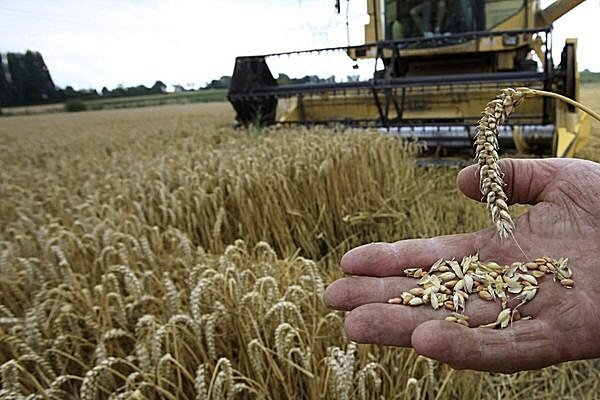 A French farmer displays wheat near his combine during summer harvest in Mons en Pevele, northern France. Young farmers make up a small proportion of EU farmers, but hope to have more of an impact in the future.