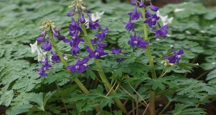 Dwarf larkspur: an early, colorful wildflower