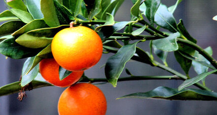 How to grow and serve kumquats