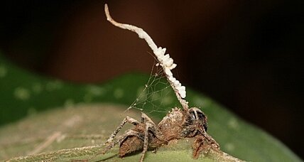 Zombie ant fungus, meet the anti-zombie-ant fungus