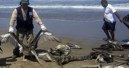 What's causing mass pelican and dolphin deaths in Peru?