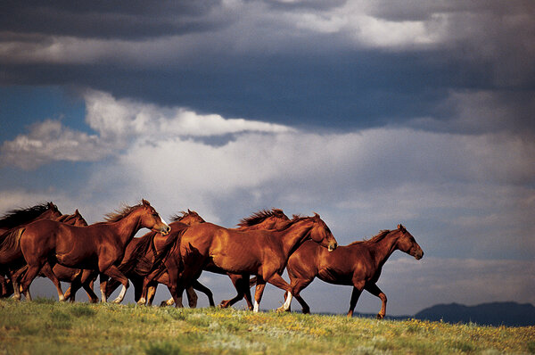 wild mustangs in american culture and nature Fans of today's wild horses are petitioning the us fish and wildlife service to list the animals as an endangered species  some of those went wild—thus the current wild horse.