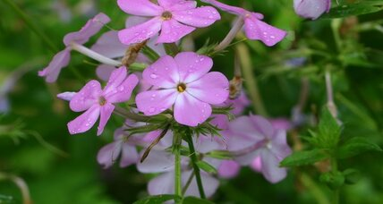 Smooth phlox is a charming in-between bloomer