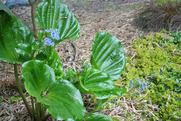 Four unusual shade perennials to try csmonitor chatham island forget me not is an excellent perennial for the shade gardener who wants something different its huge glossy leaves with deeply impressed mightylinksfo Choice Image