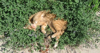 Hybrid catmints: Cool cats in your landscape