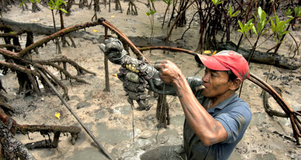 Mangroves reduce disaster risk, boost incomes  in Vietnam