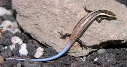 Scientists discover 24 new lizard species in Caribbean