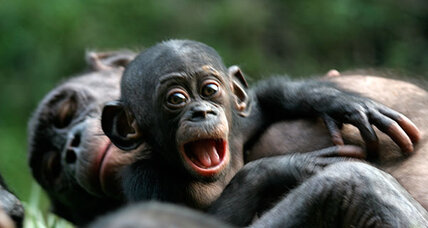 The bonobo, the non-murderous version of the chimpanzee, gets its genome mapped