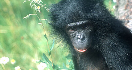 The bonobo, the chimp's sexpot cousin, gets its genome mapped (+video)