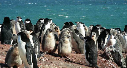 Is global warming responsible for chinstrap penguin decline?