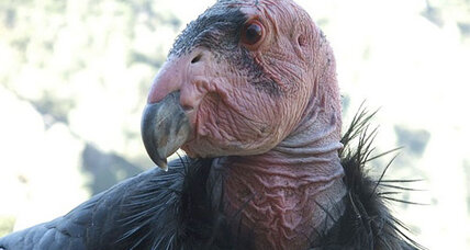 California condors face 'epidemic' lead poisoning, finds study