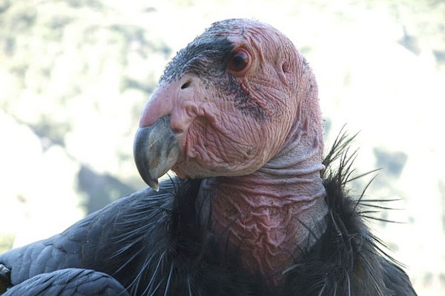 California Condors Face Epidemic Lead Poisoning Finds